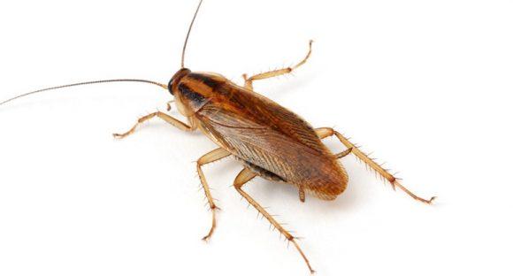 cucaracha-alemana-2